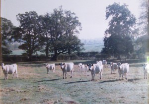 Geoff's herd of British White cattle.